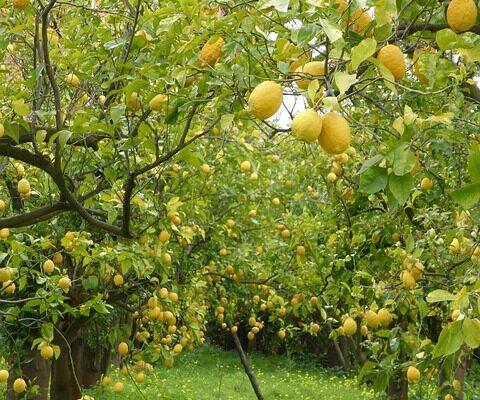lemon-trees-2314835_640